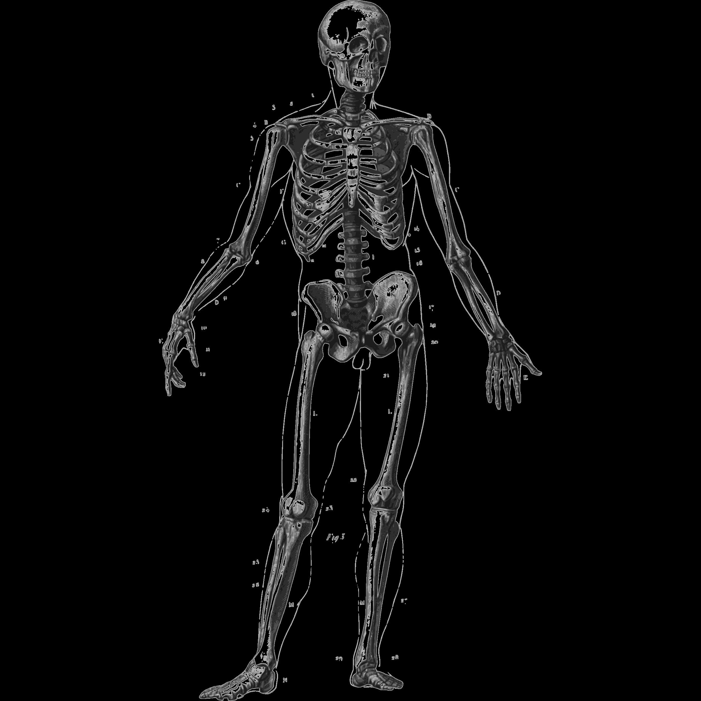 Human clipart human skeleton.