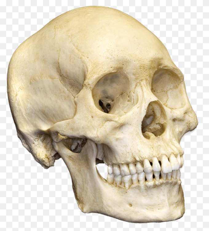 Human Skull Png (107+ images in Collection) Page 2.