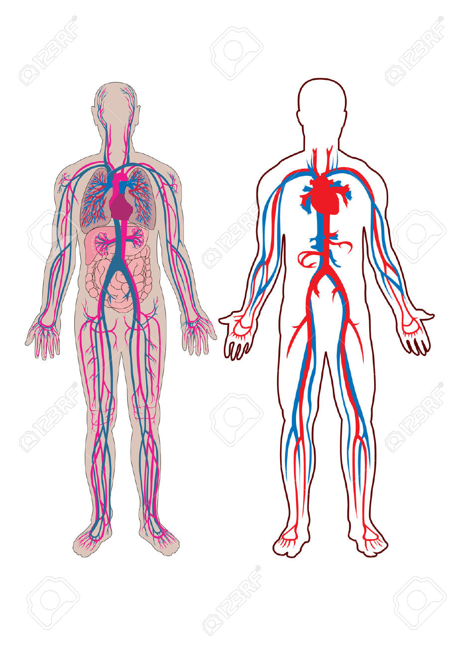 Clipart of the body veins.