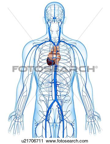 Clipart of Human veins, artwork u21706711.