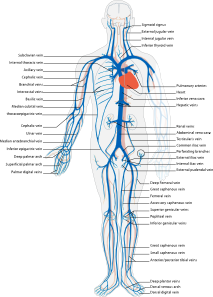 Venous System En Clip Art at Clker.com.