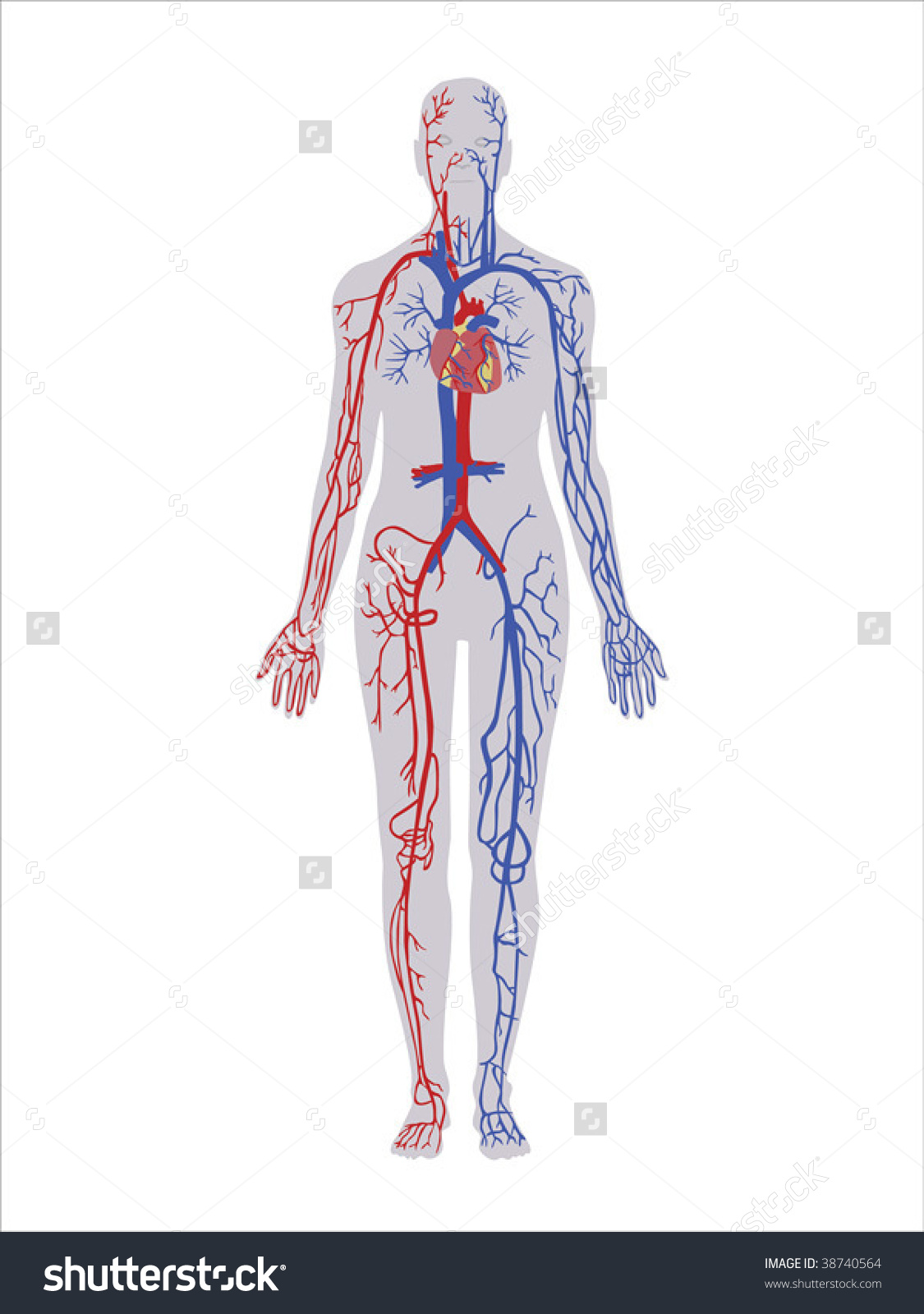 Principal Veins Arteries Vector Stock Vector 38740564.