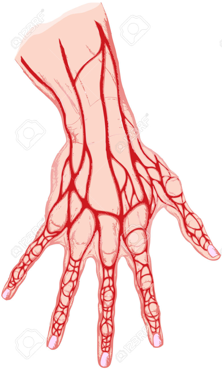 Human Vein Clipart additionally Human Blood Circulation Chart p 1357 2078 in addition Sheep Eye furthermore Astrocytes in addition Human Digestive System Diagram. on human brain circulatory system