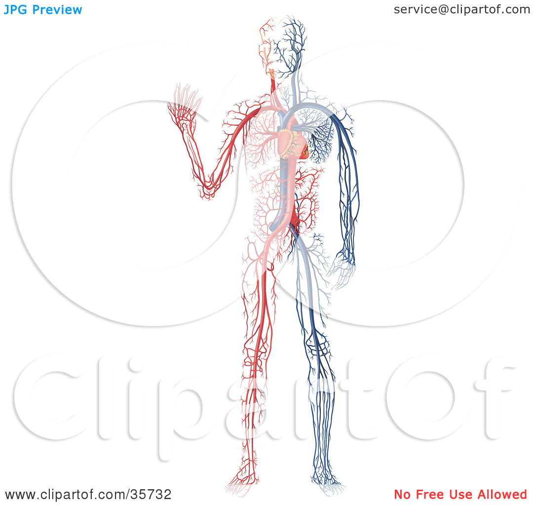 blood vessel coloring pages - photo#21