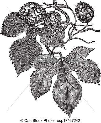 EPS Vector of Common hop engraving.