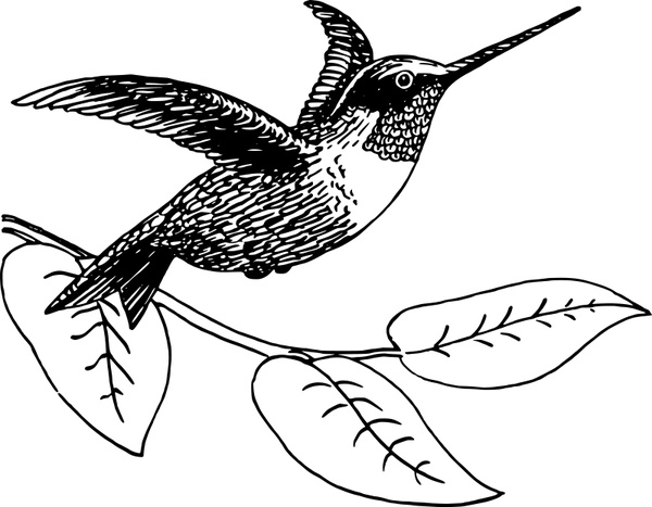 Hummingbird vector free free vector download (29 Free vector) for.