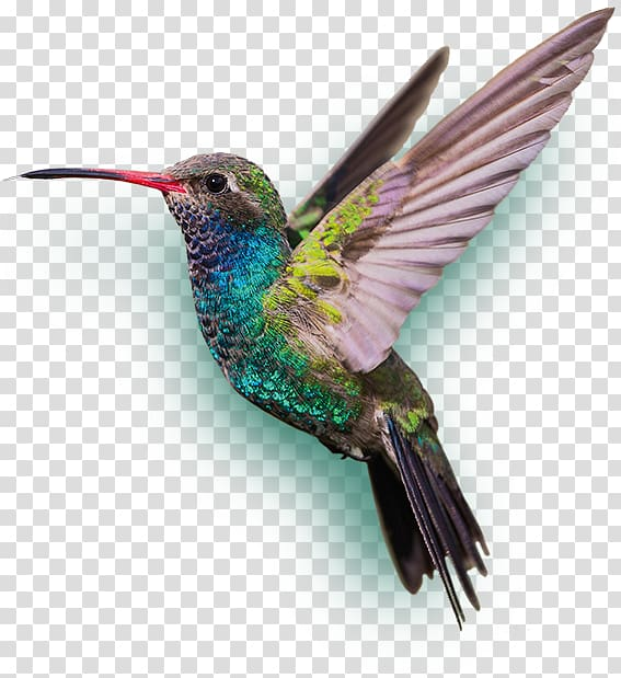 Hummingbird transparent background PNG cliparts free.