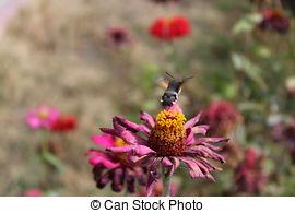 Stock Images of hummingbird hawk.