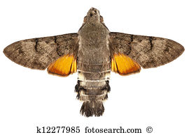 Hawk moth Images and Stock Photos. 832 hawk moth photography and.