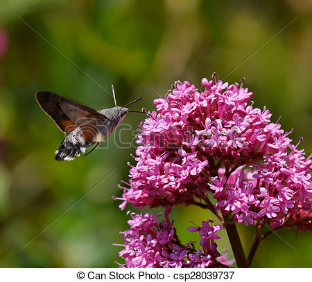 Stock Photos of Hummingbird Hawk Moth insect getting nectar from.