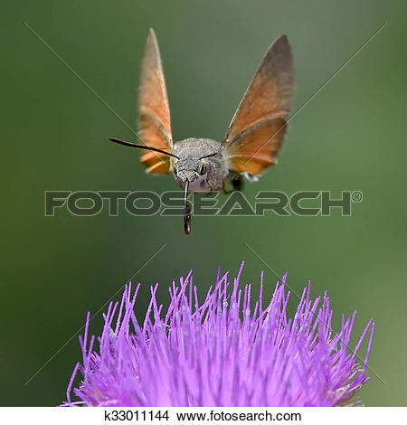 Stock Photo of hummingbird hawk.