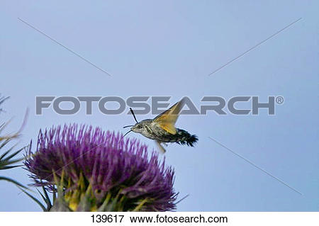 Picture of Hummingbird hawk.