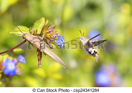 Pictures of Flying Hummingbird hawk.