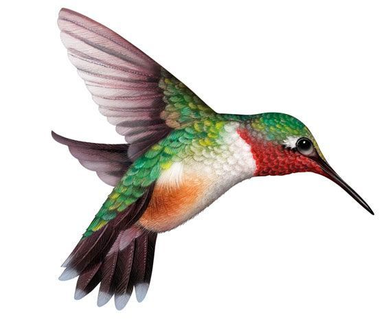Hummingbird clipart hummingbird clip art clipartix 3.