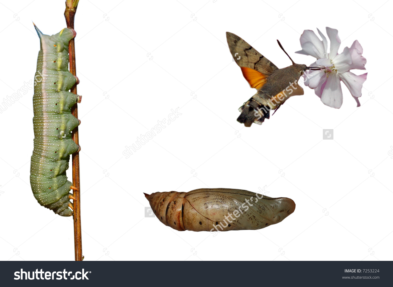 Metamorphosis Hummingbird Hawk Moth Isolated On Stock Photo.