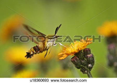 Stock Photo of Hummingbird moth (Hemaris thysbe) nectaring on.