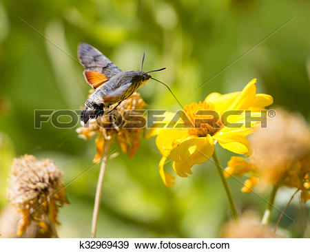 Stock Photograph of Sphingidae, known as bee Hawk.