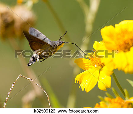 Stock Photo of Sphingidae, known as bee Hawk.