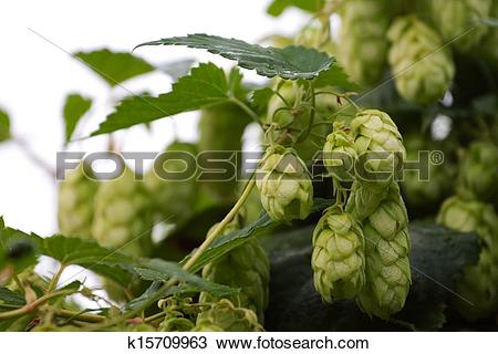 Stock Photo of Humulus lupulus k15709963.