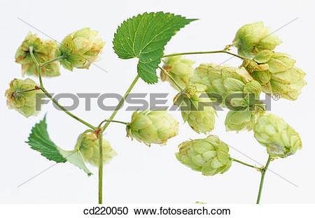 Stock Photography of Hops (Humulus lupulus) cd220050.