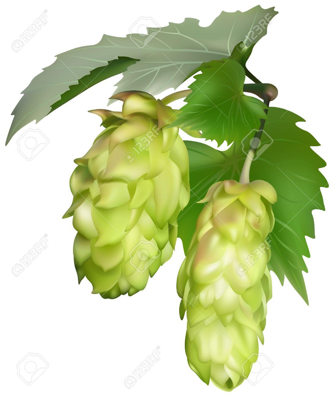 Hop (Humulus Lupulus).