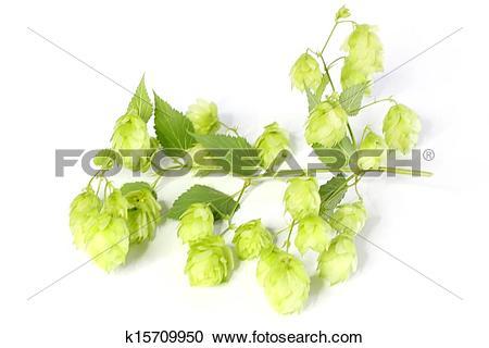 Stock Photography of Humulus lupulus k15709950.