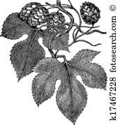 Humulus lupulus Illustrations and Clipart. 11 humulus lupulus.