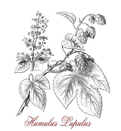 127 Humulus Stock Vector Illustration And Royalty Free Humulus Clipart.