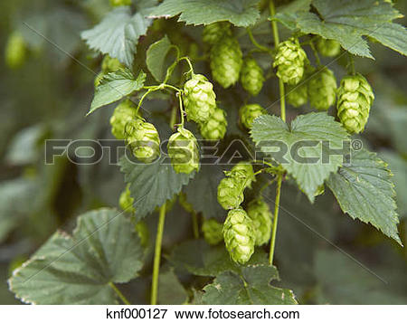 Picture of Humulus lupulus plant, close up knf000127.