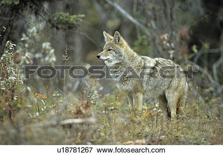 Picture of hundeartige, attentive, hundeartig, frontal, coyote.