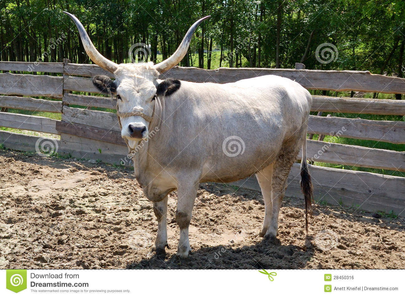 Hungarian Grey Cattle Royalty Free Stock Image.