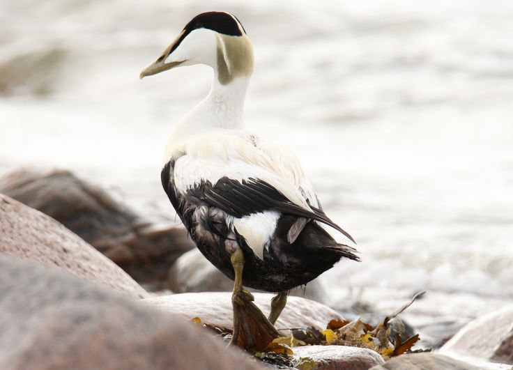 1000+ images about Fugle i Danmark on Pinterest.