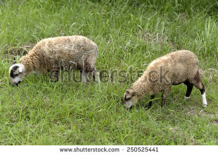 Hutia Conga Eating Grass Buenos Aires Stock Photo 95541307.