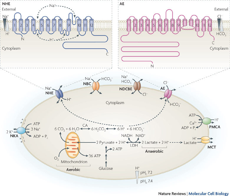 Sensors and regulators of intracellular pH (PDF Download Available).