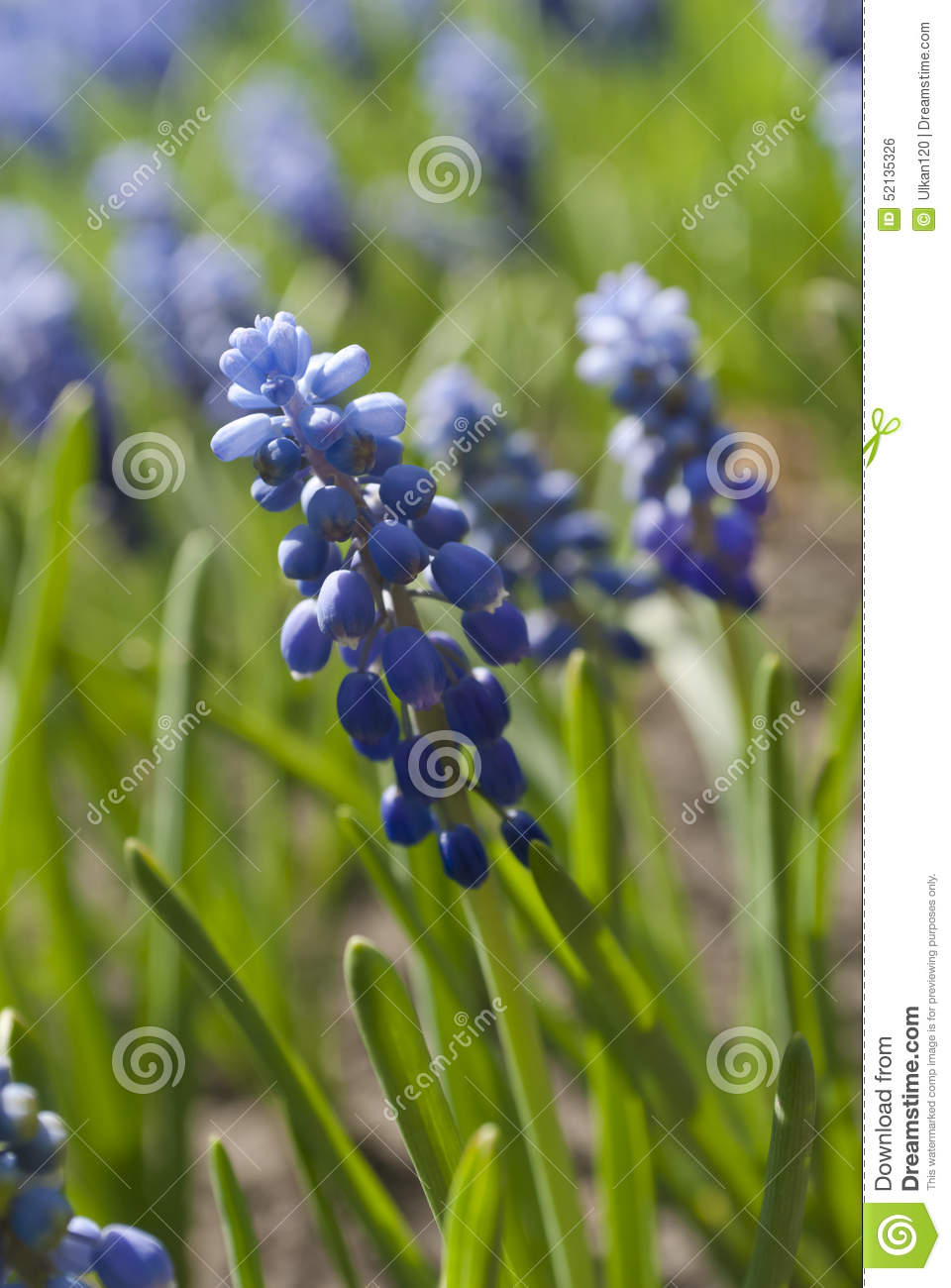 Blue Flowers Muscari Or Murine Hyacinth Buds And Leaves Stock.