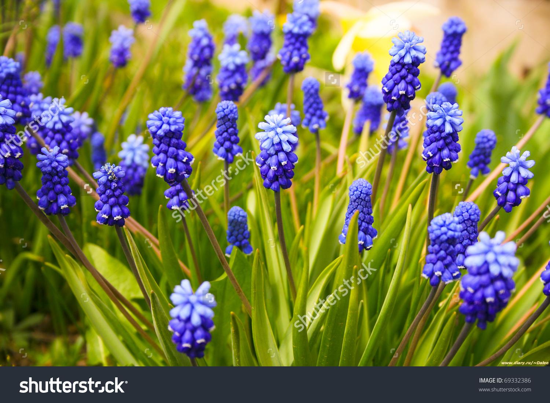 Blue Flowers Muscari Murine Hyacinth Buds Stock Photo 69332386.