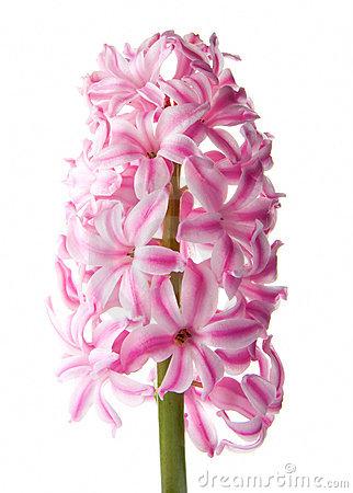 Pink Hyacinth Flower Royalty Free Stock Photo.