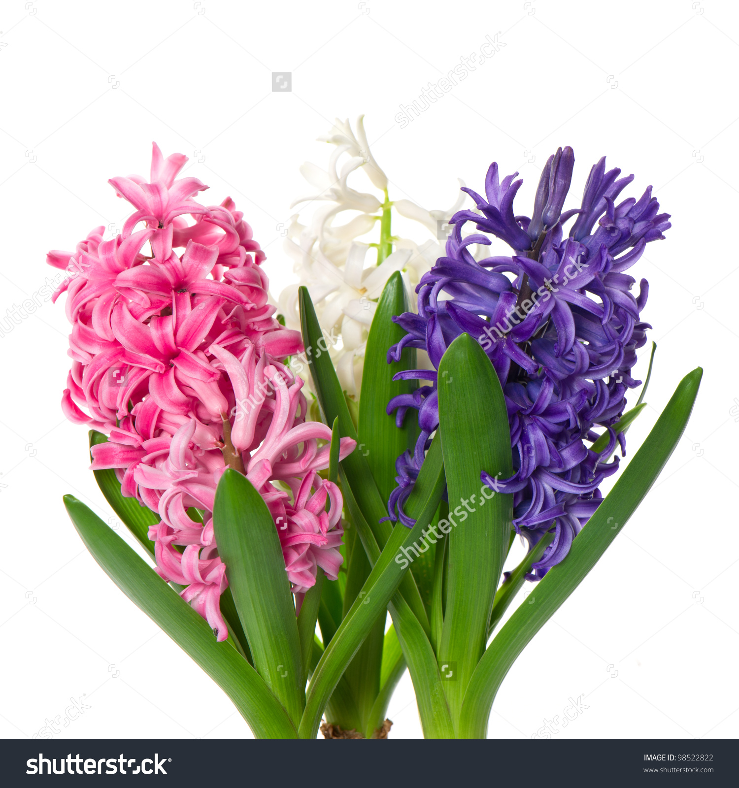 Hyacinth Buds Clipart Clipground