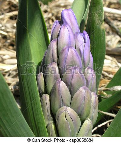 Stock Photo of Wild Hyacinth bud.