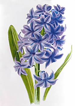 Hyacinth Clipart.