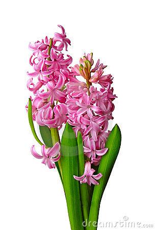 Pink Hyacinth Clip Art.