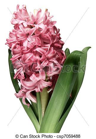 White Hyacinth Clip Art.