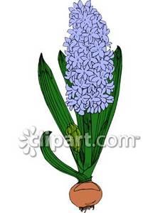 Hyacinth.