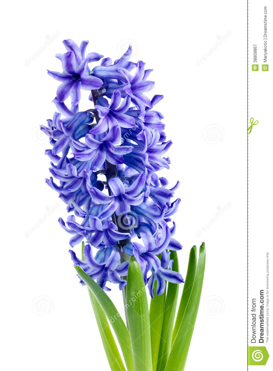 Hyacinthus Clipart Clipground