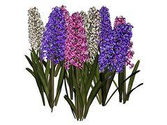 Clipart Hyacinth.