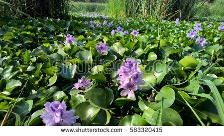 Water Hyacinth Stock Images, Royalty.