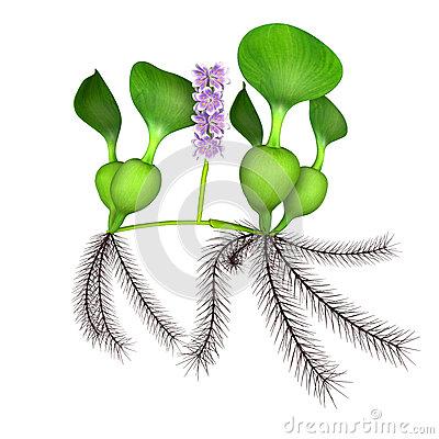 Water Hyacinth Stock Illustrations.