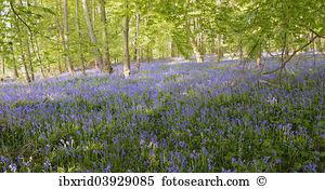 Spanish bluebell hyacinthoides hispanica white background Stock.