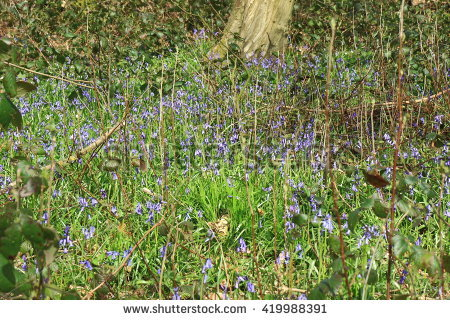 Hyacinthoides Non.