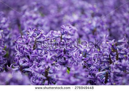 Hyacinthus Orientalis Stock Photos, Royalty.